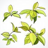 Ensemble de branches avec les feuilles vertes fraîches Images libres de droits