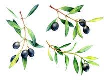 Ensemble de branches d'olivier tirées par la main d'aquarelle illustration stock