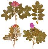 Ensemble de brindilles sèches et de fleurs pressées de rose sauvage d'isolement Photo libre de droits
