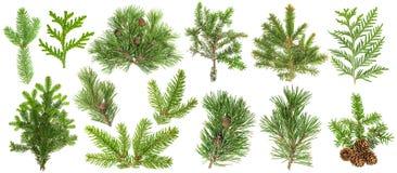 Ensemble de cône de sapin de thuja de pin impeccable de branches d'arbre conifére photos stock