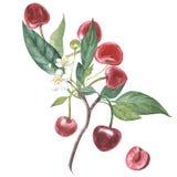 Ensemble de cerise sur la branche avec des fleurs d'isolement, illustration d'aquarelle illustration libre de droits
