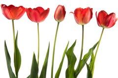 Ensemble de cinq tulipes de couleur rouge d'isolement sur le fond blanc Images libres de droits