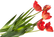 Ensemble de cinq tulipes de couleur rouge d'isolement sur le fond blanc Images stock