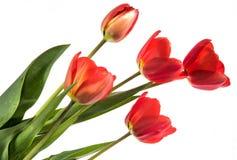 Ensemble de cinq tulipes de couleur rouge d'isolement sur le fond blanc Image libre de droits