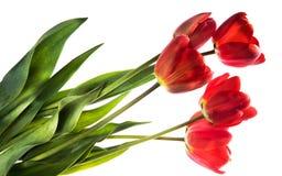 Ensemble de cinq tulipes de couleur rouge d'isolement sur le fond blanc Photographie stock libre de droits