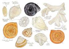 Ensemble de coquilles, de palourdes et de mollusques de mer d'aquarelle illustration libre de droits