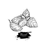 Ensemble de dessin de Basil Usine d'isolement avec des feuilles Photo libre de droits