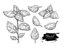 Ensemble de dessin de Basil Usine d'isolement avec des feuilles Photographie stock libre de droits