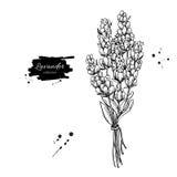Ensemble de dessin de vecteur de lavande Fleur sauvage et feuilles d'isolement Illustration gravée de fines herbes de style Image stock