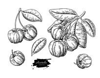 Ensemble de dessin de vecteur de fruit d'Acerola Croquis de cerise des Antilles Illustration gravée par vintage de superfood Photos stock