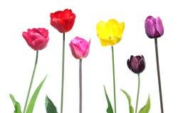 Ensemble de différentes tulipes de couleur avec des feuilles de vert d'isolement sur le blanc Images stock