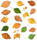 ensemble de diverses feuilles des arbres de peuplier d'isolement Images stock