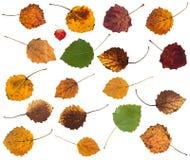 ensemble de diverses feuilles des arbres de tremble d'isolement Photographie stock libre de droits