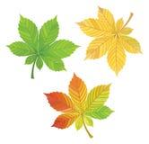 Ensemble de feuilles de châtaigne Illustration de vecteur Photo stock