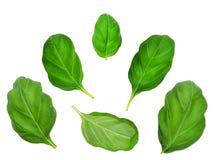 Ensemble de feuilles de basilic Photos libres de droits