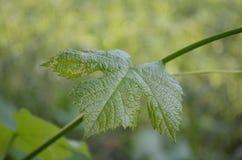 Ensemble de feuilles de raisin photos stock