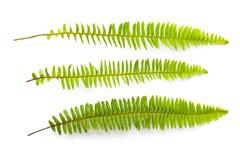 Ensemble de feuilles vertes de fougère d'isolement sur le fond blanc Photos stock