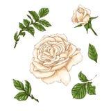 Ensemble de fleur, de bourgeon et de feuilles de rose de blanc D'isolement sur l'illustration blanche de vecteur Photos stock