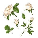 Ensemble de fleur, de bourgeon et de feuilles de rose de blanc D'isolement sur l'illustration blanche de vecteur Photos libres de droits