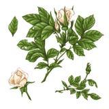 Ensemble de fleur, de bourgeon et de feuilles de rose de blanc D'isolement sur l'illustration blanche de vecteur Photographie stock