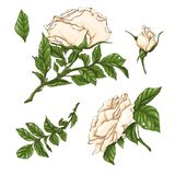 Ensemble de fleur, de bourgeon et de feuilles de rose de blanc D'isolement sur l'illustration blanche de vecteur Photo stock