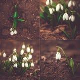 Ensemble de fleur de ressort Galanthus Images libres de droits