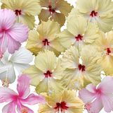 Ensemble de fleur de ketmie d'isolement image stock