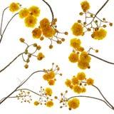 Ensemble de fleur de regium de Cochlospermum d'isolement sur le fond blanc Image stock
