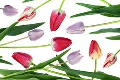 Ensemble de fleur de tulipe de couleur de mélange image libre de droits