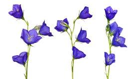 Ensemble de fleurs bleues de campanula Photographie stock