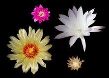 Ensemble de fleurs de cactus Photo stock