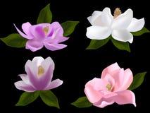Ensemble de fleurs de magnolia d'isolement sur le fond noir Photographie stock libre de droits