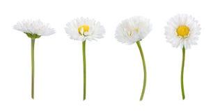 Ensemble de fleurs de marguerite d'isolement sur un blanc photos libres de droits