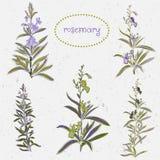 Ensemble de fleurs de romarin et d'éléments de décoration Photo stock