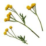 Ensemble de fleurs jaunes de tansy Photographie stock libre de droits