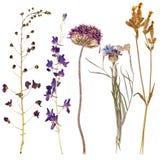 Ensemble de fleurs sauvages pressées Image stock