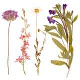 Ensemble de fleurs sauvages pressées Images stock