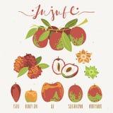 Ensemble de fruit de jujube, variété d'espèces de Ziziphus, usines Date rouge, date de Chinois, coréenne ou indienne illustration libre de droits