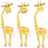 Ensemble de giraffes Photo stock
