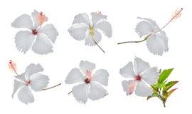 Ensemble de ketmie ou de fleur blanche de chaba d'isolement sur le blanc images stock