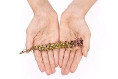 Ensemble de mains tenant doucement une fleur verte et pourpre sur un fond blanc Photos libres de droits