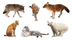 Ensemble de mammifère de carnivore au-dessus de blanc photographie stock