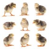 Ensemble de poulets gris. Photo stock