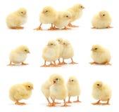 Ensemble de poulets jaunes. Image libre de droits