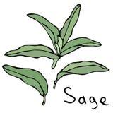 Ensemble de Sage Herb Branch et de feuilles verts Croquis tiré par la main réaliste de style de griffonnage Illustration de vecte Photographie stock libre de droits