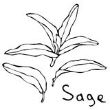 Ensemble de Sage Herb Branch et de feuilles verts Croquis tiré par la main réaliste de style de griffonnage Illustration de vecte Images stock