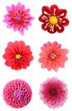 Ensemble de têtes de fleur de dahlia Images libres de droits