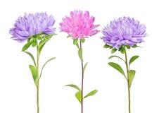 Ensemble de trois fleurs d'aster images libres de droits