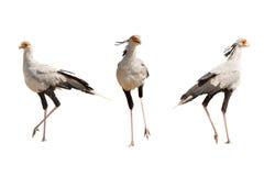Ensemble de trois oiseaux de secrétaire Images libres de droits