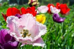 Ensemble de tulipes lumineuses Photos stock